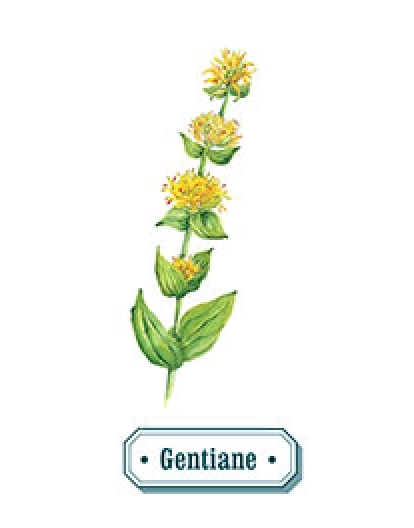 Gentiane